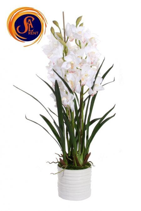Орхидея Цимбидиум M